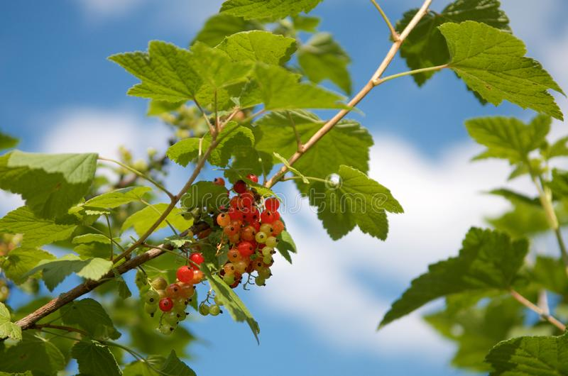 Beautiful red currant branch closeup with bright red berries and green bright leaves royalty free stock image