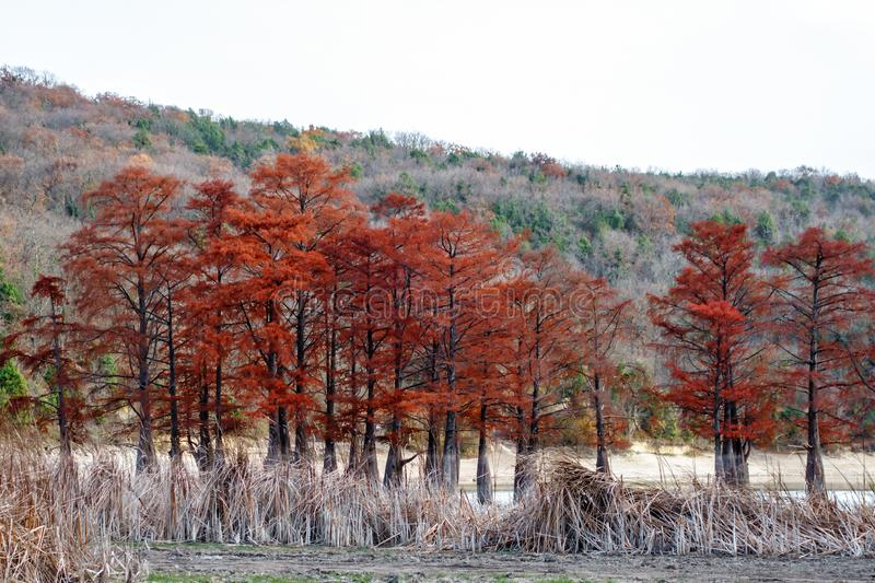 Beautiful red cypress wood in mountain lake in Sukko by Anapa, Russia. Autumn scenic landscape. Caucasus mountains. Taxodium royalty free stock images