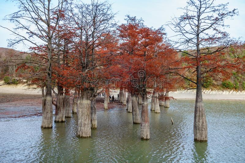 Beautiful red cypress wood in mountain lake in Sukko by Anapa, Russia. Autumn scenic landscape. Caucasus mountains. Taxodium stock photos