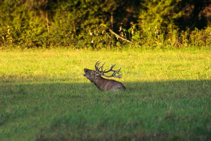 Red deer in rutting season stock photos