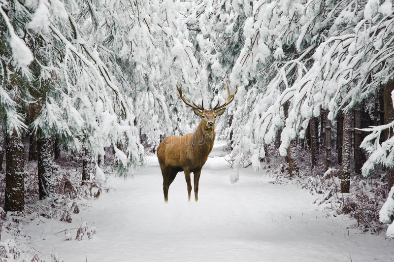Beautiful red deer stag in snow covered festive season Winter forest landscape. Beautiful red deer stag in snow covered Winter forest landscape royalty free stock photo