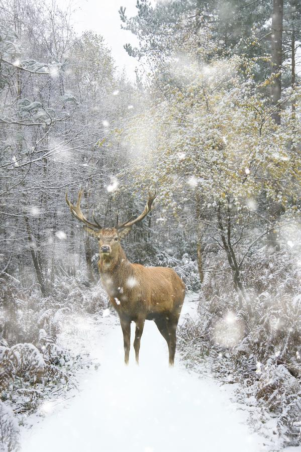 Beautiful red deer stag in snow covered festive season Winter forest landscape in heavy snow storm. Beautiful red deer stag in snow covered Winter forest stock images