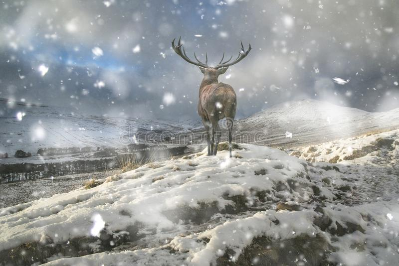 Beautiful red deer stag in snow covered mountain range winter landscape in heavy snow storm. Beautiful red deer stag in snow covered mountain range winter stock image