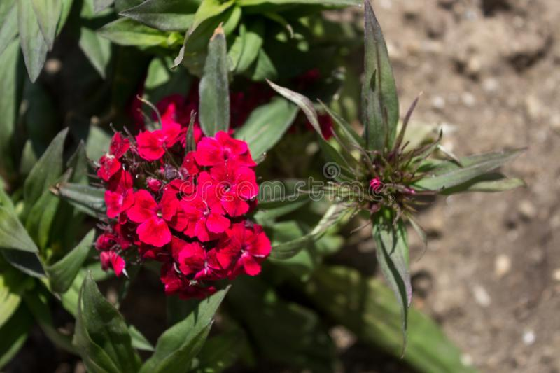 Beautiful red Dianthus flower Dianthus chinensis blooming in garden. Dianthus barbatus flower and buds on blurred background.  stock photography