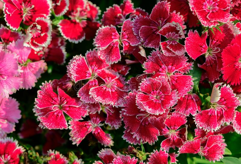 Beautiful Red Dianthus flower in garden. Top view stock images