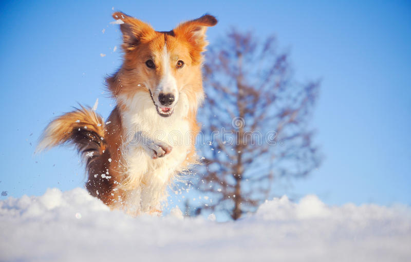Dog border collie playing in winter royalty free stock images