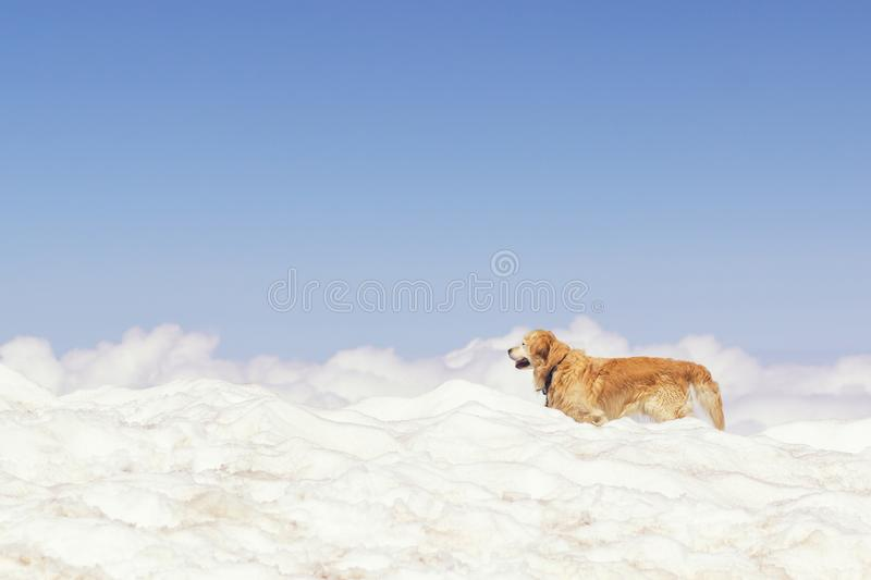Beautiful red dog border collie playing in winter on blue sky background royalty free stock photos
