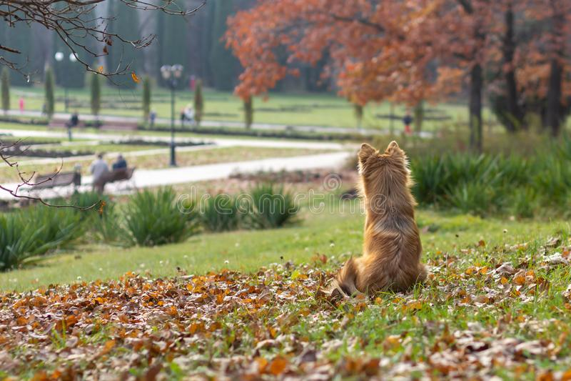 Beautiful red dog pooch sits on the lawn among the fallen leaves and waits for the owner.  royalty free stock photography