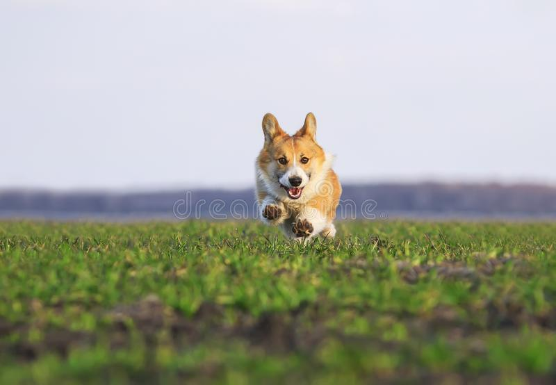 Beautiful red dog puppy Corgi runs fast on green grass in spring meadow funny sticking out his tongue and stretching out little royalty free stock photography