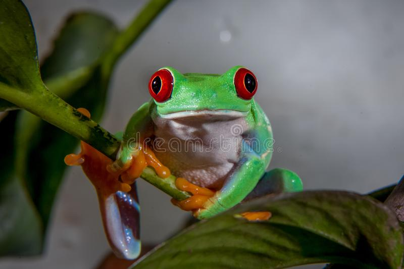 Beautiful red eyed tree frog. Red eyed tree frog isolated on white. Agalychnis callidrias a tropical amphibian from the rain forest of Costa Rica and Panama stock photography