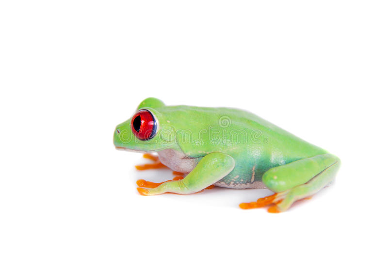 Beautiful red eyed tree frog on white background. Red eyed tree frog isolated on white. Agalychnis callidrias a tropical amphibian from the rain forest of Costa royalty free stock images