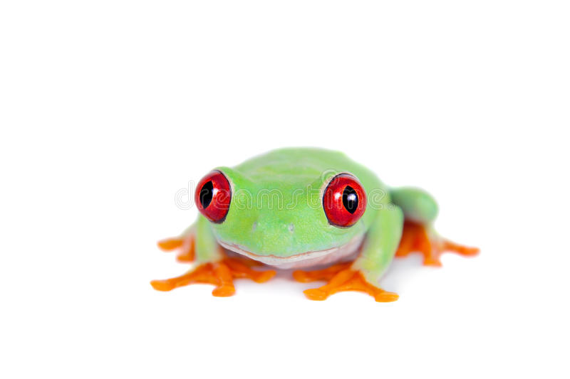 Beautiful red eyed tree frog on white background. Red eyed tree frog isolated on white. Agalychnis callidrias a tropical amphibian from the rain forest of Costa stock image