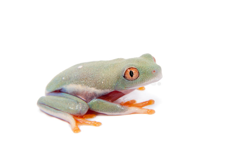 Beautiful red eyed tree frogling on white background. Red eyed tree frogling, Agalychnis callidrias, isolated on white background royalty free stock photos