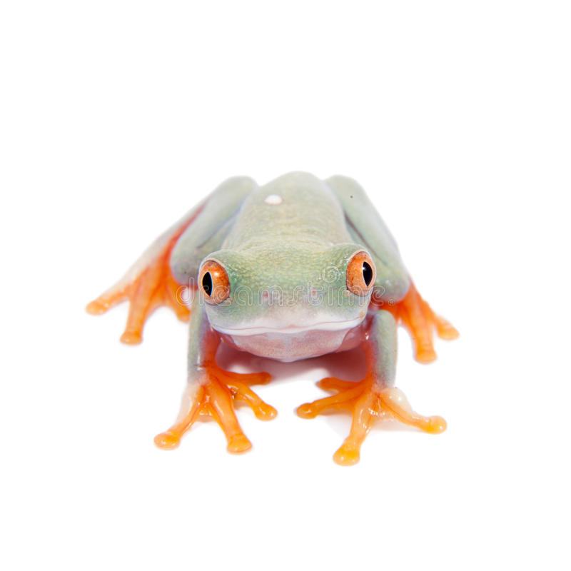 Beautiful red eyed tree frogling on white background. Red eyed tree frogling, Agalychnis callidrias, isolated on white background royalty free stock images