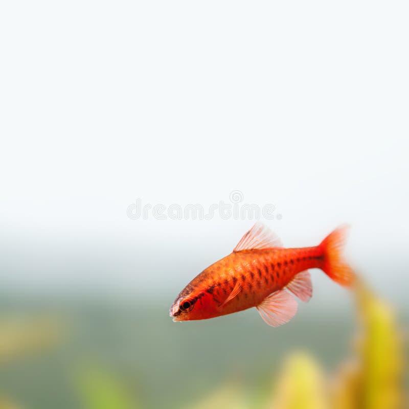 Beautiful red fish on soft green background. Male barb swimming tropical freshwater aquarium tank. Puntius titteya royalty free stock photos