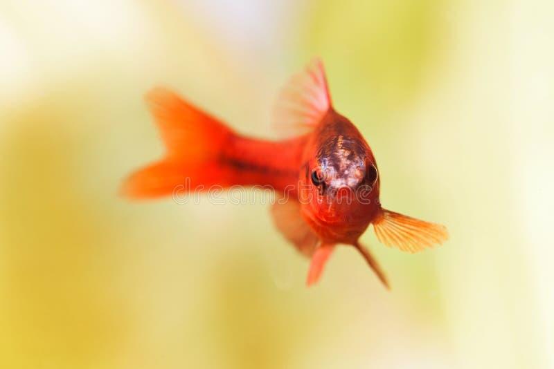 Beautiful red fish on soft green background. Male barb swimming tropical freshwater aquarium tank. Puntius titteya. Belonging to the family Cyprinidae. Macro royalty free stock photography