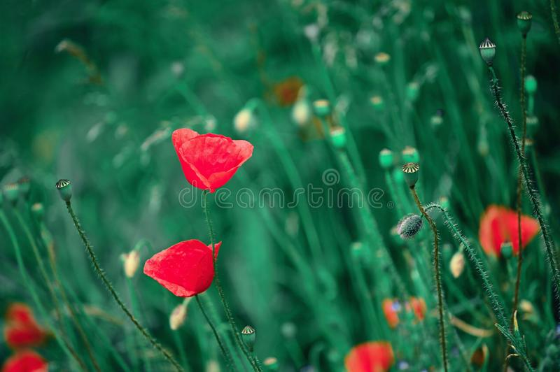 Beautiful red flower - poppies. Natural colorful background.  stock images