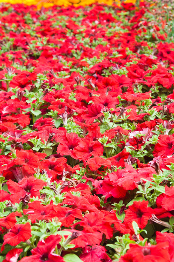 Download Beautiful Red Flowers Stock Image - Image: 25858571