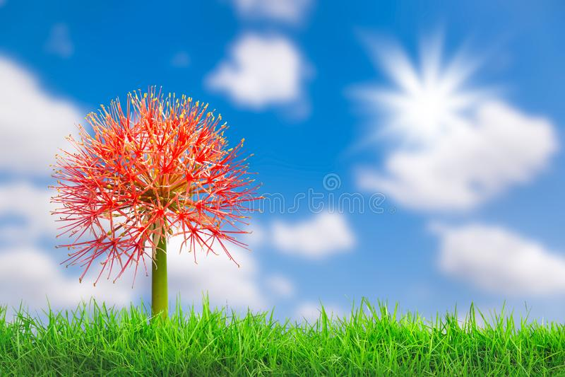 Beautiful red flowers of Blood flower, Powder puff lily, Blood lily Haemanthus multiflorus Tratt royalty free stock images