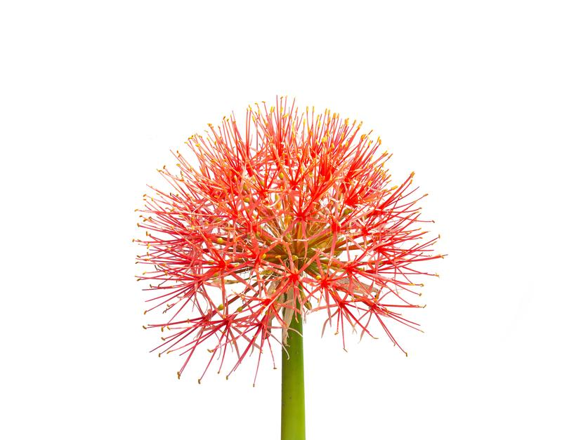 Beautiful red flowers of Blood flower, Powder puff lily, Blood lily Haemanthus multiflorus Tratt. Martyn stock photo