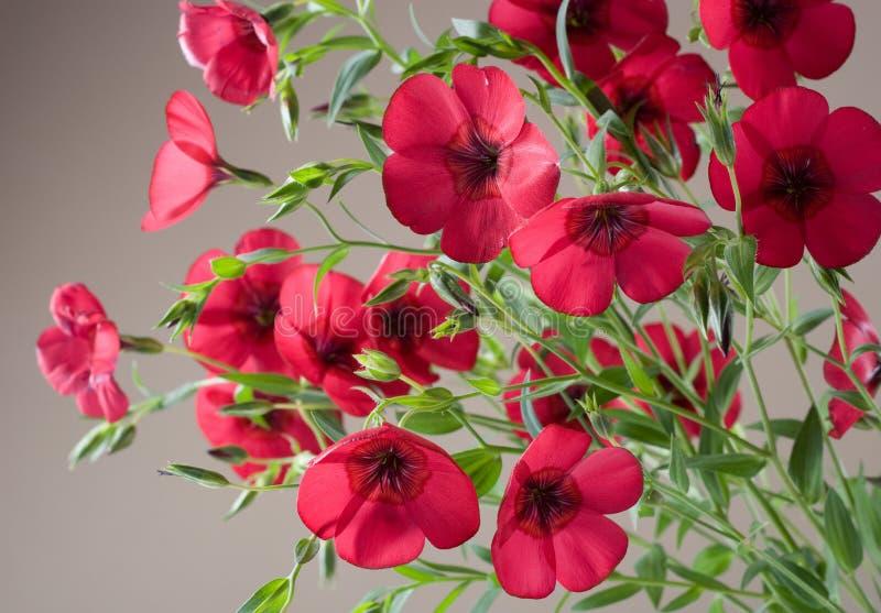 Beautiful red flowers linum grandiflorum royalty free stock photo