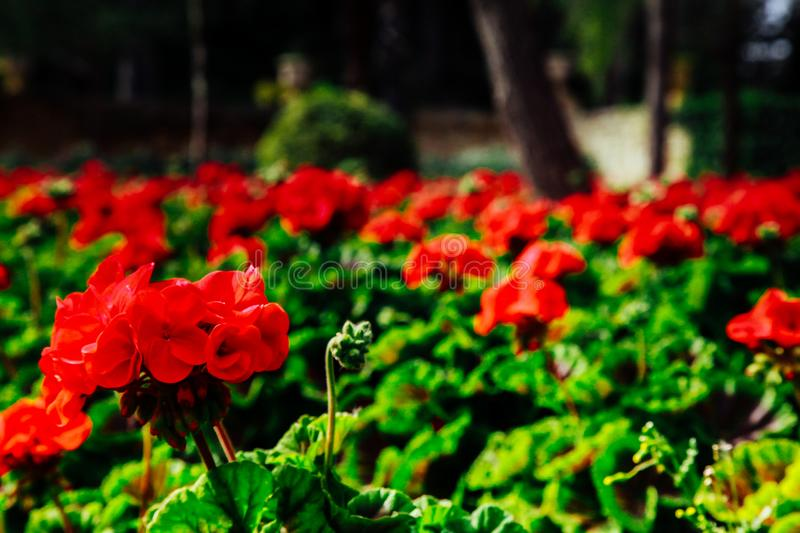 Beautiful red flowers in the park stock photography