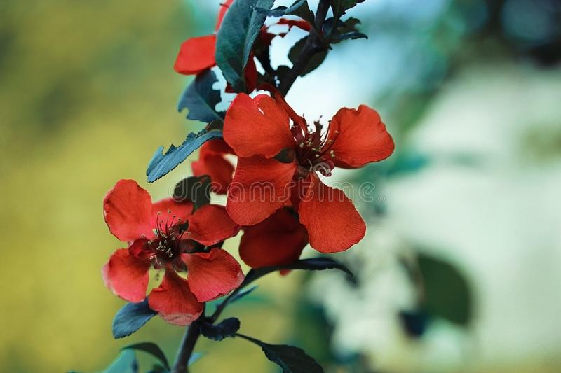Beautiful red flowers quince, queen-apple, apple quince on yellow green background. Useful ornamental fruit tree. Closeup macro royalty free stock photos