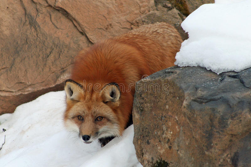 Beautiful Red Fox in the Snow. Beautiful red fox in her winter coat, crouching in the snow stock photos