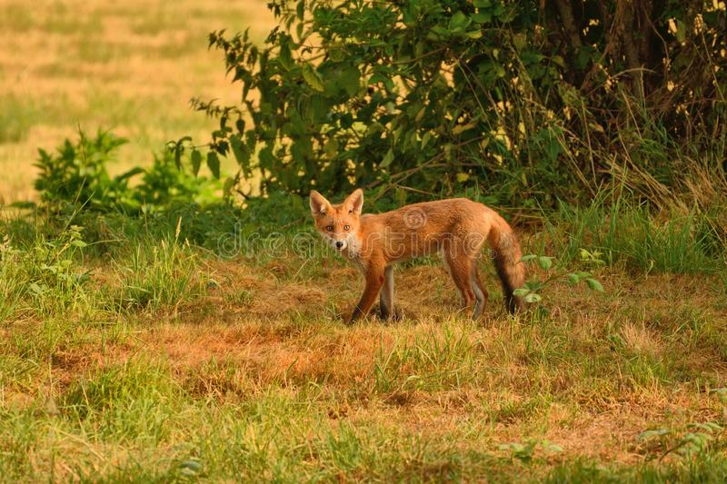 Inqusitive red fox, vulpes vulpes, early morning in a parched field. royalty free stock image