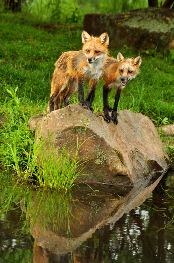 Beautiful red fox and water reflections. Young Red Fox and water reflections royalty free stock photography