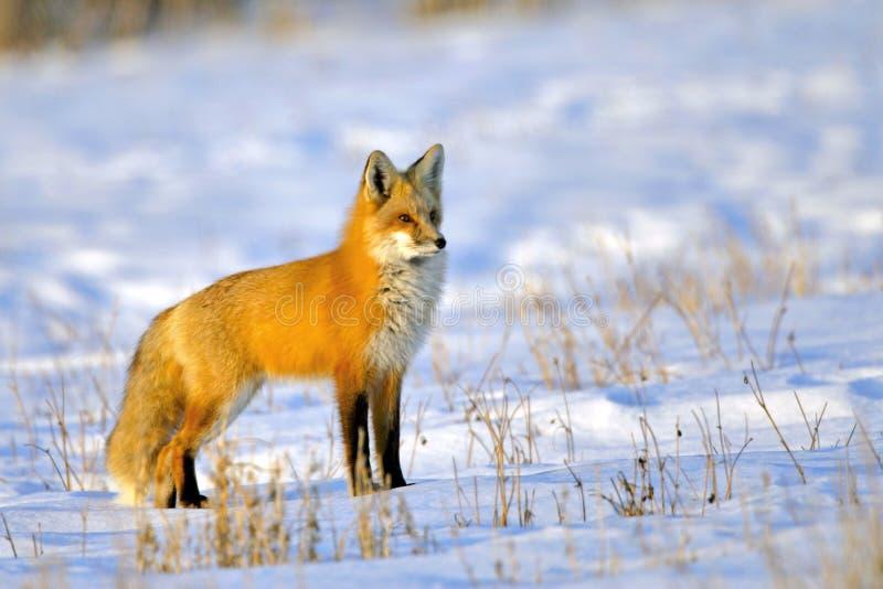 Beautiful Red Fox in winter coat in snowcovered meadow, alert. Red Fox standing in snowcovered meadow, watching, alert stock images