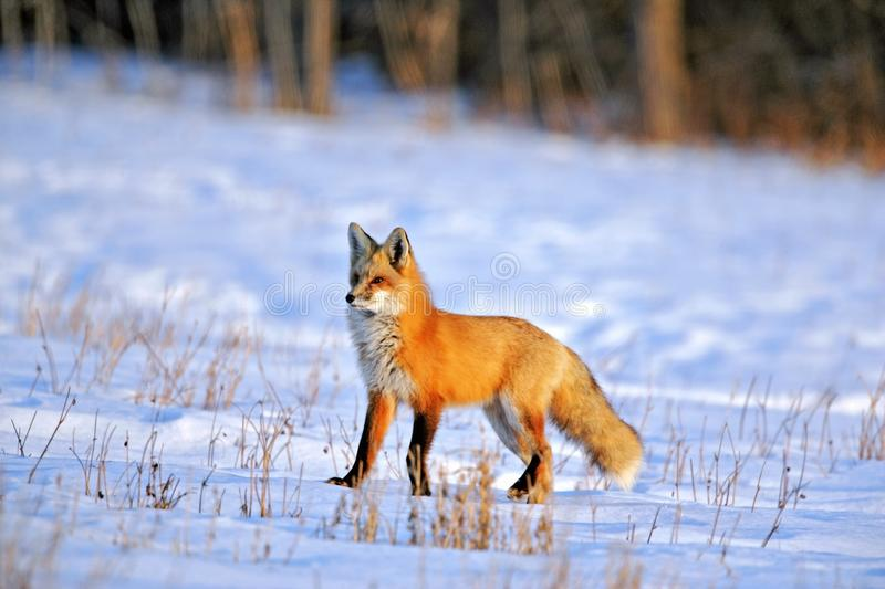 Red Fox in prime winter coat hunting in snowy field on late winter day. royalty free stock photo