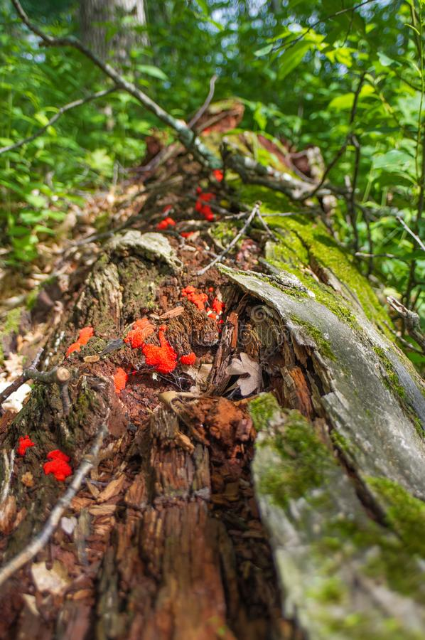 Beautiful red fugus and mushrooms growing off fallen decomposing tree near the Crex Meadows Wildlife Area in Northern Wisconsin royalty free stock photo