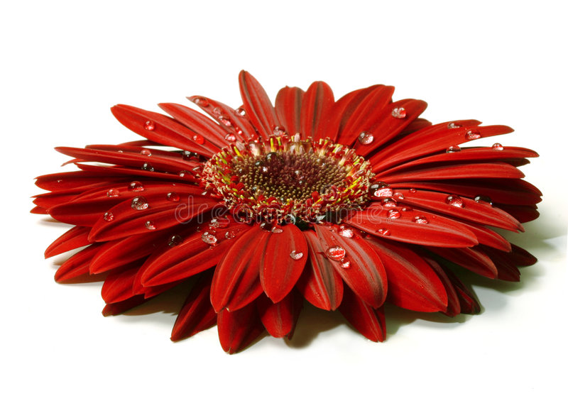 Download Beautiful Red Gerbera With Raindrops Stock Photography - Image: 531272