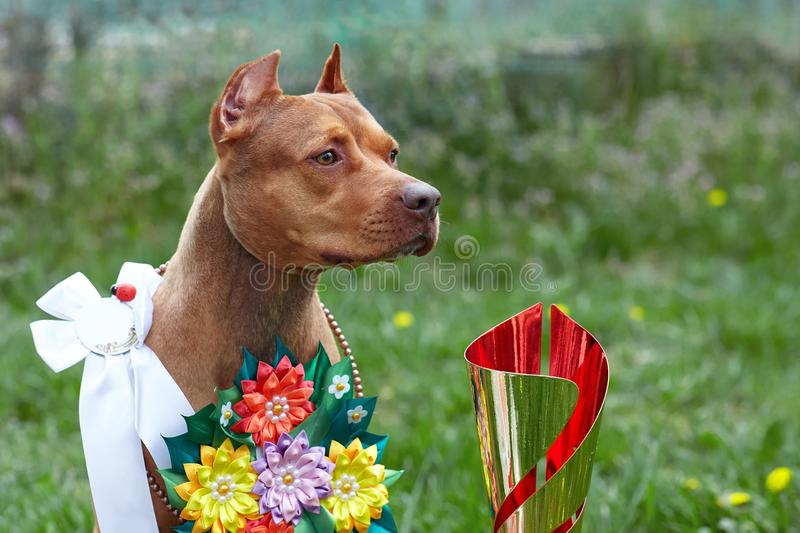 Beautiful red ginger dog of American PitBull terrier breed, red female with show ribbons and garland of flowers, old school ear stock photography