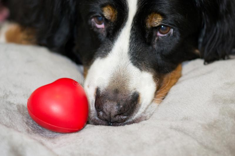 Beautiful red heart is lying near face od Bernese Mountain dog. The best surprise for Valentine`s day and international Women`s stock image