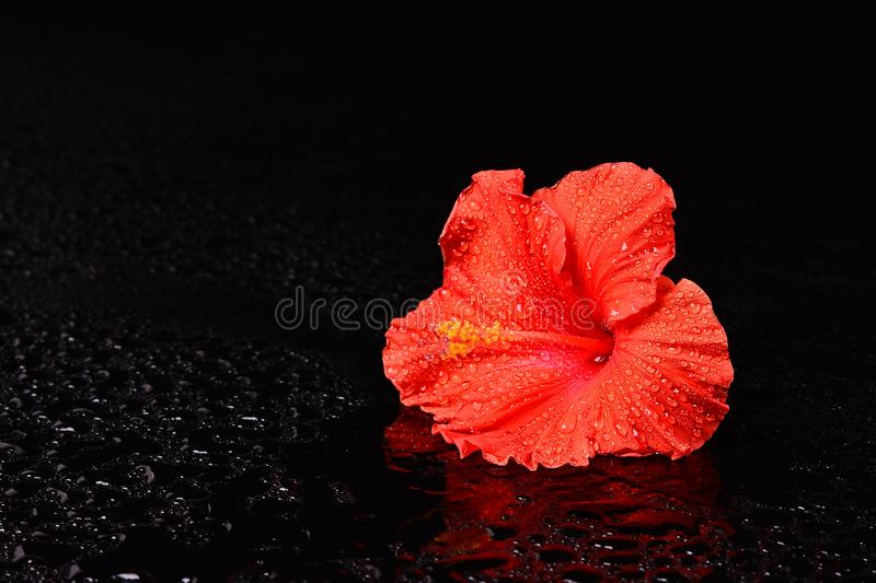 Wet Red Hibiscus on Water Droplet Black Surface stock photography