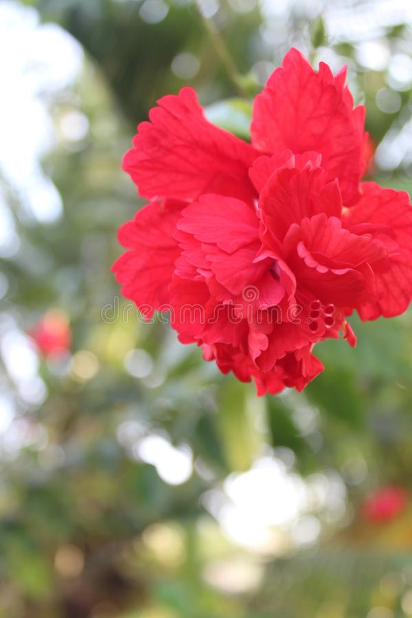 Beautiful Red Hibiscus flower in forest stock photos