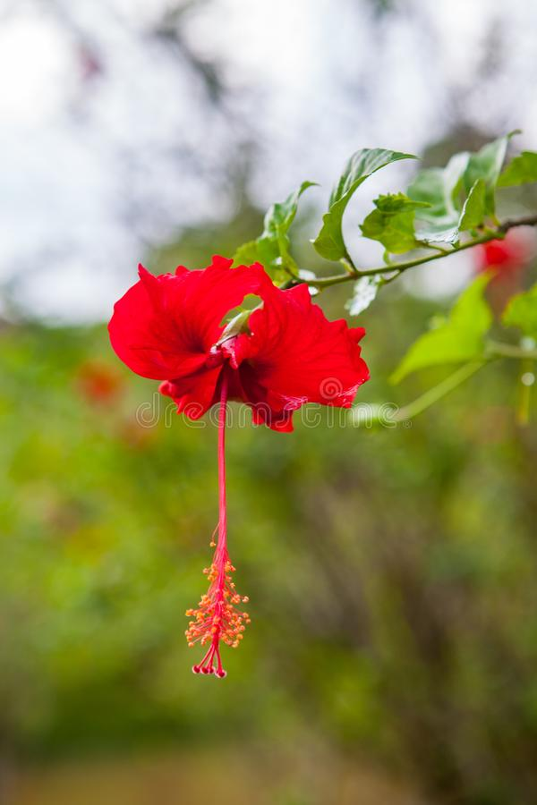 Beautiful red hibiscus flower on green background royalty free stock photo