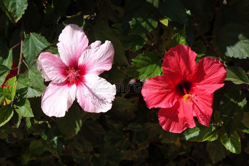 Beautiful red Hibiscus flowers in full bloom in corralejo Fuerteventura Spain stock photography