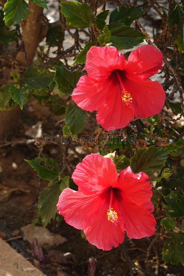 Beautiful red Hibiscus flowers in full bloom in corralejo Fuerteventura Spain stock photos