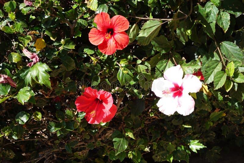 Beautiful red Hibiscus flowers in full bloom in corralejo Fuerteventura Spain royalty free stock photography