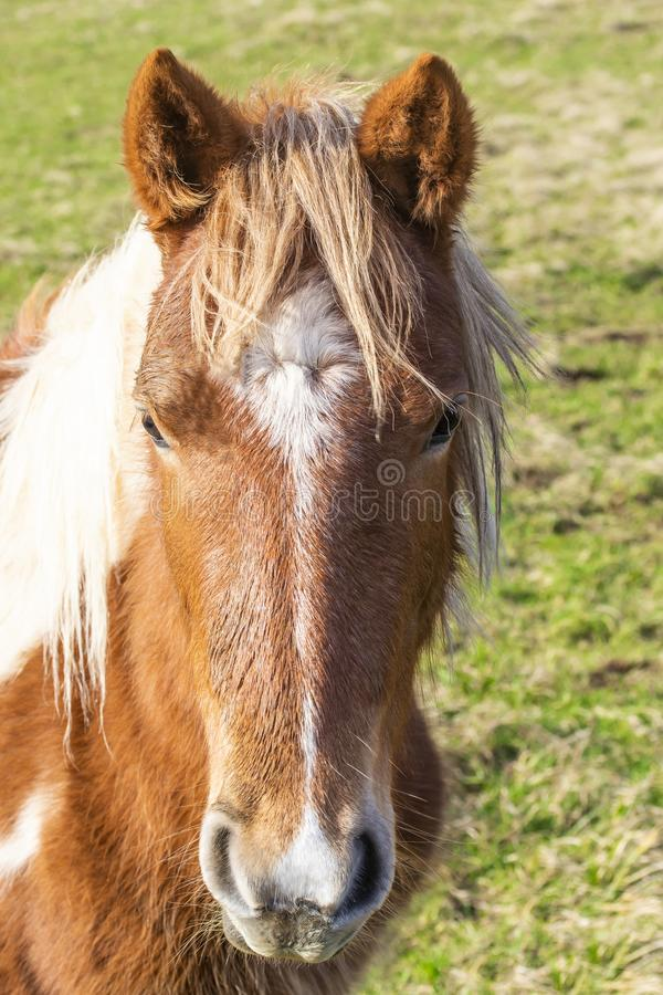 Beautiful red horse with long blonde mane in spring field royalty free stock images