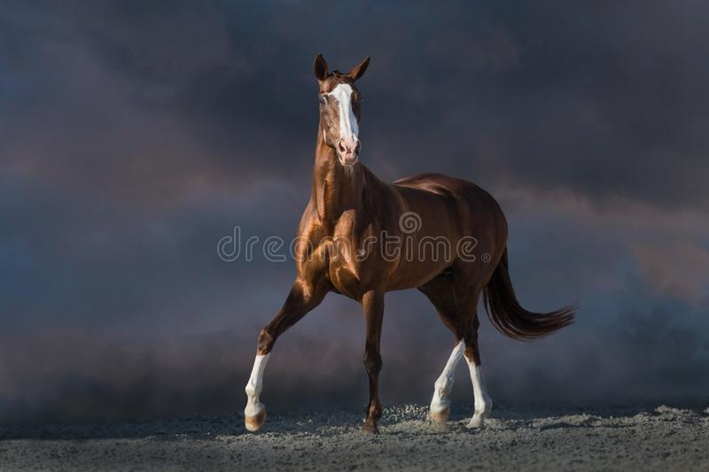 Beautiful red horse trotting. Red horse run in desert dust against dark dramatic sky stock photos