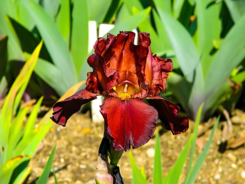 Beautiful red iris in sunny day - detail on flower royalty free stock image