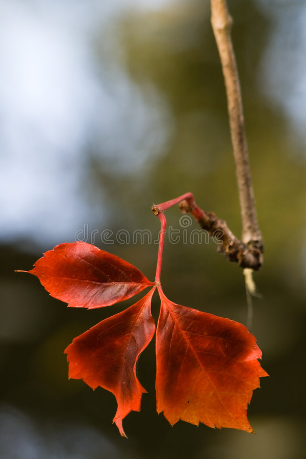 Beautiful red leaf royalty free stock photos