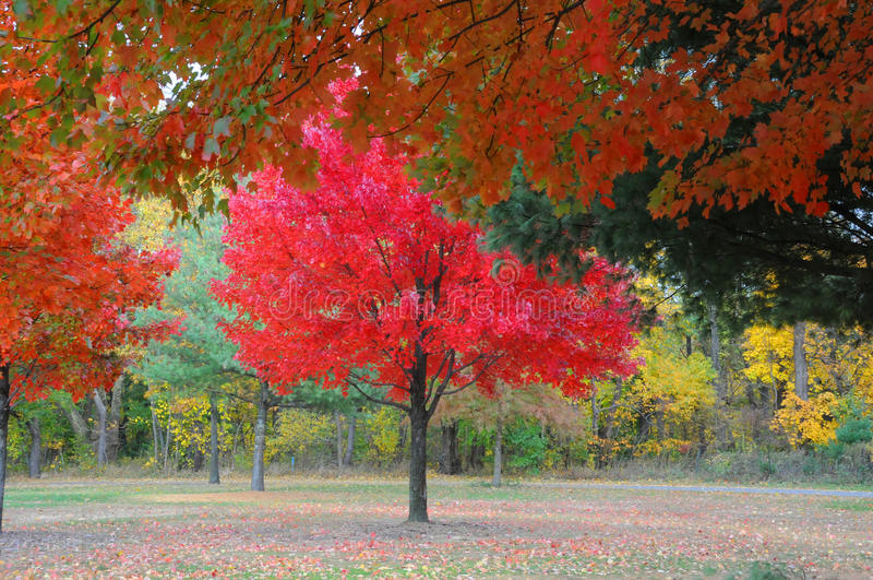 Beautiful red-leaved tree. royalty free stock image