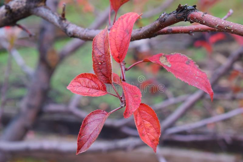 Beautiful red leaves on an Apple tree. Beautiful red leaves on an Apple tree in autumn in the garden stock photography