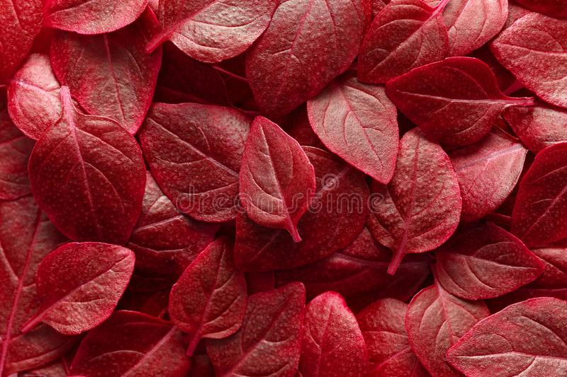 Beautiful red leaves background. Leafs texture, texture of green plant, basil leaves background. royalty free stock photo