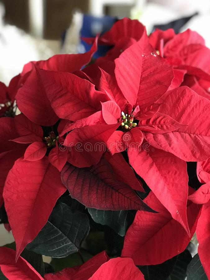 Poinsettia flower. Beautiful red leaves on a blooming poinsettia plant. The leaves change from red to green as the tiny yellow flowers appear in the center. Not royalty free stock photos